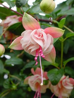 fuchsia | Karl Gercens | Flickr
