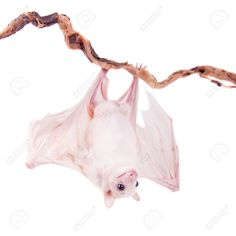 Egyptian Fruit Bat Or Rousette, Rousettus Aegyptiacus. On White.. Stock Photo, Picture And Royalty Free Image. Pic 37973581.