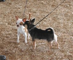 Chihuahuas are famous for loving their own breed best.