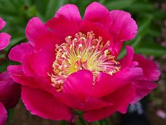 Hollingsworth Peonies - Comanche