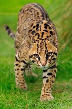 The ocelot (/ˈɒsəlɒt/; Leopardus pardalis), also known as the dwarf leopard, is a wild cat distributed extensively over South America including the islands of Trinidad and Margarita, Central America, and Mexico.