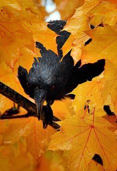 Raven in autumn.