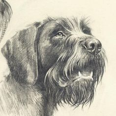 Drawing Sketches, Art Drawings, Grouse Hunting, German Wirehaired Pointer, Dog Haircuts, Hunting Art, Dog Paintings, Ink Illustrations, Dog Art