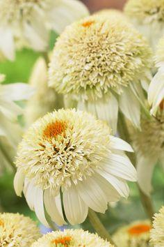 Echinacea 'Milkshake'