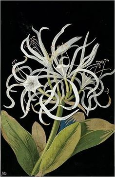 Mary Delany ~ Pancratium Maritinum: Sea Daffodil. 1775. Paper Collage.