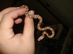 amber motley corn snake - has same pattern as Nayra Snakes, Lizards, Corn Snake, Vivarium, Reptiles And Amphibians, Heart Ring, Amber, Give It To Me, Cute Animals
