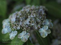 """Japan Hydrangea"" Very astringent petal (Tadashi Yamaura / Okazaki / Japan) #E-M5 MarkII #macro #photo #insect #nature"