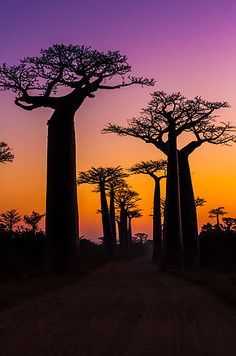 Avenue of the Baobabs, Madagascar. This alley of towering baobab trees lines the dirt road in the Menabe region of Madagascar and has become one of the most popular spots for tourists in the area. Bonsai, Beautiful World, Beautiful Places, Foto Picture, Enchanted Tree, Tree Tunnel, Baobab Tree, Thinking Day, Wonders Of The World
