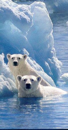 Polar Bears (Ursus maritimus)