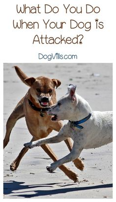 What do you do if your dog is attacked by another? Knowing what to do in the aftermath can mean the difference between life & death for your dog.