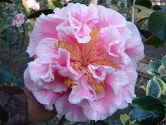 Tomorrows Dawn   Camellias   Pinterest