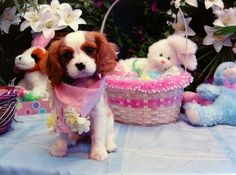 Scarlett the Cavalier King Charles Spaniel pup is ready for the Easter Bunny!