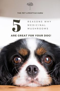 Medicinal mushrooms - benefits galore! But are they the same for dogs? You bet they are! Here is an explanation of the types of medicinal mushrooms that you should be giving your dog! #healthydog #rawfeddog #holisticdog #medicinalmushrooms Dog Nutrition, Animal Nutrition, Dog Care Tips, Pet Care, Wild Animals Pictures, Cute Dog Photos, Can Dogs Eat, Dog Shower, Dog Eating