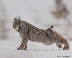 Lynx has a stretch before heading off in search of a Christmas bunny - Murray Kay (@mfkphotography.ca) on Instagram #BigCatFamily