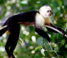 manuel antonio national park, costa rica~ Monkeys in the wild Oh The Places You'll Go, Places Ive Been, Costa Rica, Wonderful Places, Beautiful Places, Exotic Pets, Exotic Animals, National Parks, Cute Animals