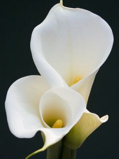 My all time favorite flower white Calla lilies.  I grew them on California...they were huge.  I loved to cut them and fill my vases in the house.  One of the few things I miss from CA