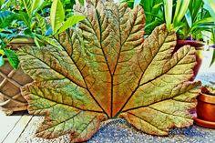 gunnera leaf casting