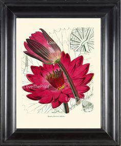 BOTANICAL PRINT Lotus Flower 8x10 Botanical Art Print N1 Beautiful Antique Large Pink Water Lily Lake Nature Spring Garden