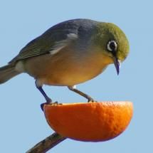 The next time you eat an orange slice it in half. Instead of throwing the peel away, spear it onto a cut tree branch. Make sure the hole isn't too big where you poke the branch through because it has to be snug. Now fill with bird seed. When the birds eat the seed, the peel will start to biodegrade on it's own so you can either let it fall to the ground and biodegrade or remove it. If you keep replacing it the birds will learn to keep coming.
