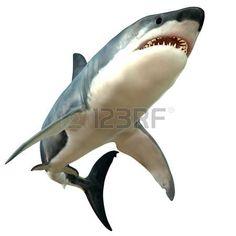 акула: Great White Shark тела Фото со стока