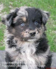 Australian Shepherd Dog and Puppy Dog Breeders Website Listings at PuppySites.Com Animals Birds Reptiles Funny Cute Wild Exotic Babies Australian Shepherd Husky, Australian Shepherds, Aussie Shepherd, Aussie Puppies, Cute Puppies, Cute Dogs, Dogs And Puppies, Baby Dogs, Doggies
