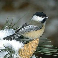 Chickadee...one of my all time favorites...friendly, curious, delightful, joyful ♡