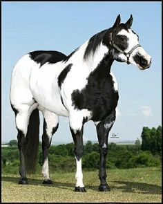 Damn Fine Stallion(s) Horses And Dogs, Cute Horses, Horse Love, American Paint Horse, American Quarter Horse, Quarter Horses, Most Beautiful Horses, All The Pretty Horses, Beautiful Creatures