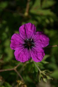 Thumbnail Geranium     psilostemon