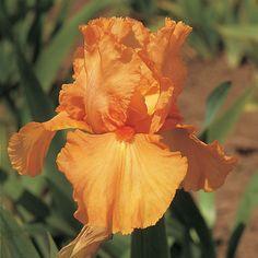 Reblooming Iris 'Orange Harvest'