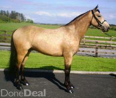 Ponies For Sale in Ireland Dun Horse, Connemara Pony, Ponies For Sale, Horse Exercises, Horse Riding Tips, Show Jumping, Dressage, Dutch, Ireland