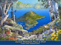 Whitebark Pines at Crater Lake National Park poster