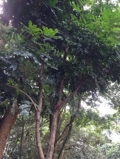 Pau Brasil the tree that gave origin to the country's name