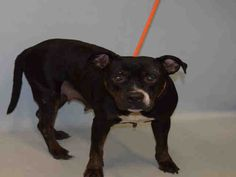 **SICK** - TO BE DESTROYED - 07/07/16 - HEDWIG - #A1079077 - Urgent Manhattan - FEMALE BLACK/WHITE PIT BULL MIX, 3 Yrs - STRAY, NO HOLD Intake 06/27/16 Due Out 06/27/16 - EXTREME NERVOUS & TENSE, TRIED TO BITE - 07/06 CIRDC, DOXY