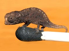 This was just in the Watchtower! Discovered in 2012, the Brookesia micra chameleon is among the smallest reptiles in the world. Here a juvenile perches on the head of a matchstick; adults grow to just over one inch. By Joern Köhler, Corbis.
