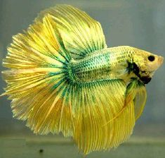 Green and Yellow HM Dragon Betta