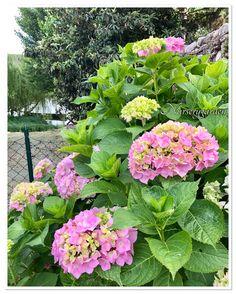 Hydrangea,ortensia, countrychic, giardino,garden,blooming,lake