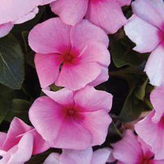 cascade vinca seeds | Vinca Seeds: Cora Cascade Strawberry F1 Vinca Seeds - Trailing Vincas ...