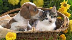Dog Puppy Cat Kitten Basket Kiss wallpaper, Animals Dog wallpaper ...