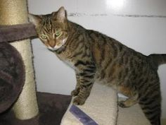 Dennis is an adoptable Domestic Short Hair Cat in New Rochelle, NY. Dennis was adopted from our shelter when he was just a tiny kittens. He recently lost his home when his family chose to move into an...