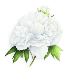 Pivoine arbustive blanche. White tree peony. Vincent Jeannerot | Flickr : partage de photos !