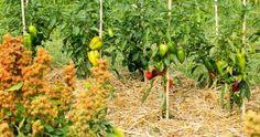 Plantar, Vegetables, Gardening, Lawn, Garten, Vegetable Recipes, Lawn And Garden, Horticulture