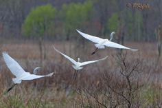 3 In Flight - Taken at the 'Rookery' overlook on Pleasant Plains Rd, NJ Great Swamp. It was an ugly, gray, rainy day, and there were quite a few Egrets around. There were 5 in that small pond right infront of the parking area. As i approached they took off, but was able to get 3 of them in frame.