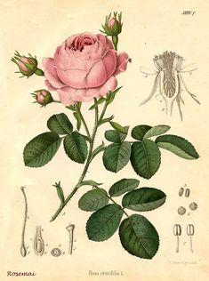 jolie planche botanique