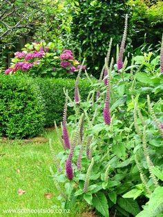 Teucrium Hircanicum purple tails