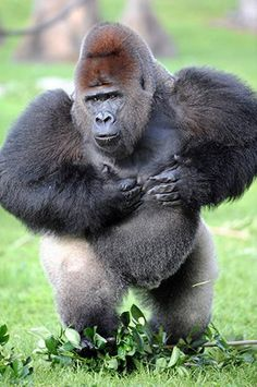 J.J., Zoo Miami's lowland silverback gorilla. Primates, Animals For Kids, Animals And Pets, Silverback Gorilla, Video Clips, Jane Goodall, Love Your Pet, Sea Otter, Science And Nature