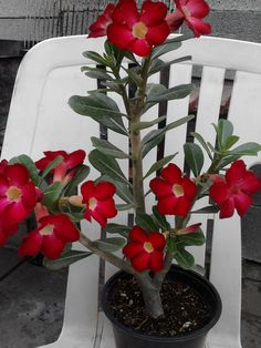 rosa del desierto Unique Flowers, Love Flowers, Beautiful Flowers, Desert Rose Plant, Red Plants, Bonsai Garden, Echeveria, Garden Planning, Trees To Plant