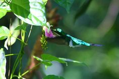 Crowned Woodnymph Hummingbird  @Costa Rica @Andreas Grieger Photography