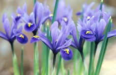 Irises by the Royal Horticultural Society © - http://www.silversurfers.com/picture-of-the-day/irises-royal-horticultural-society/
