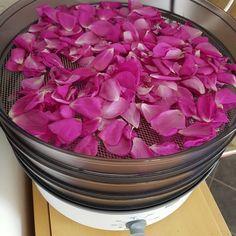 Legg rosekronbladene forsiktig på urtetørka. Tørkes på svak varme, og lagres på tette glass så fort de er helt knusk tørre.