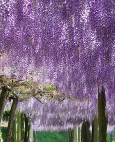 1000 ideas about wisteria on pinterest wisteria arbor Wisteria flower tunnel path in japan